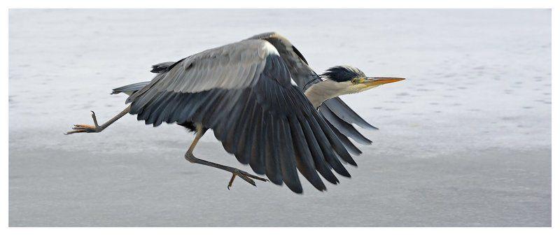серая цапля, grey heron, ardea cinerea Заполошнаяphoto preview