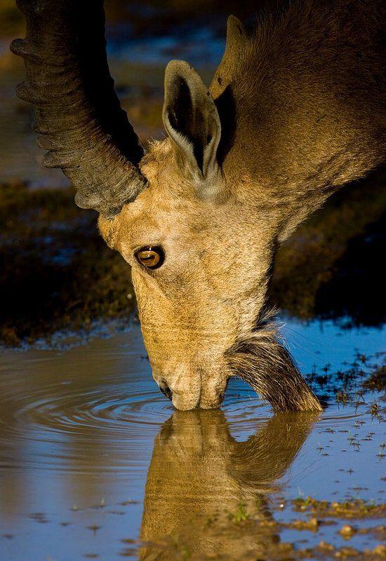 нубийский козерог, водопой поцелуйphoto preview
