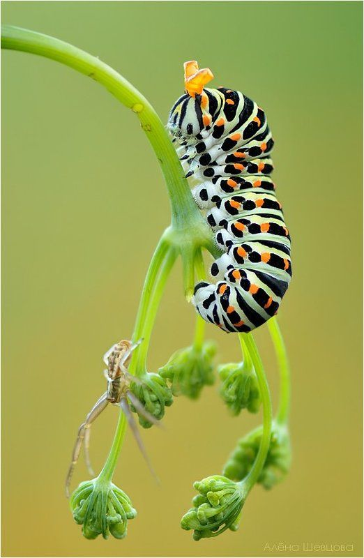 гусеница, махаон ***photo preview