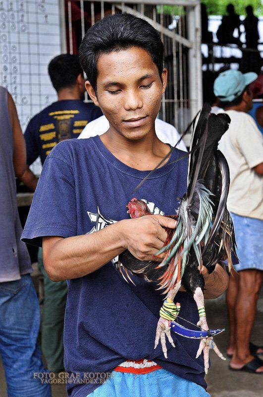 бой, петух, кровь, азарт, победа, проигрыш Петушиные бои (Филиппины)photo preview