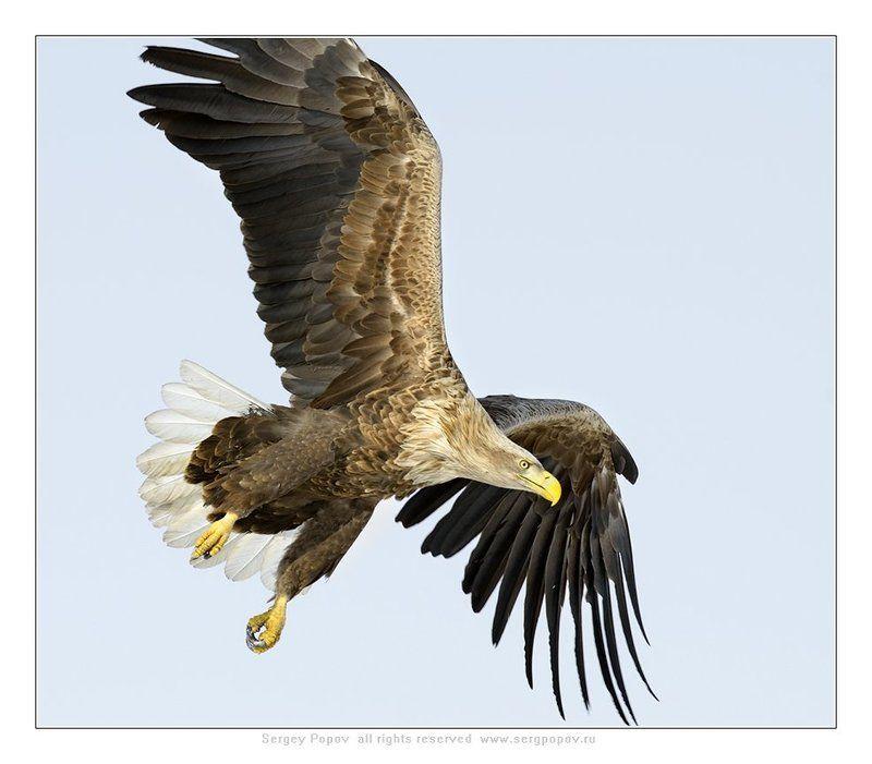 белохвостый орлан, дикая природа, Посмотрим!!!photo preview