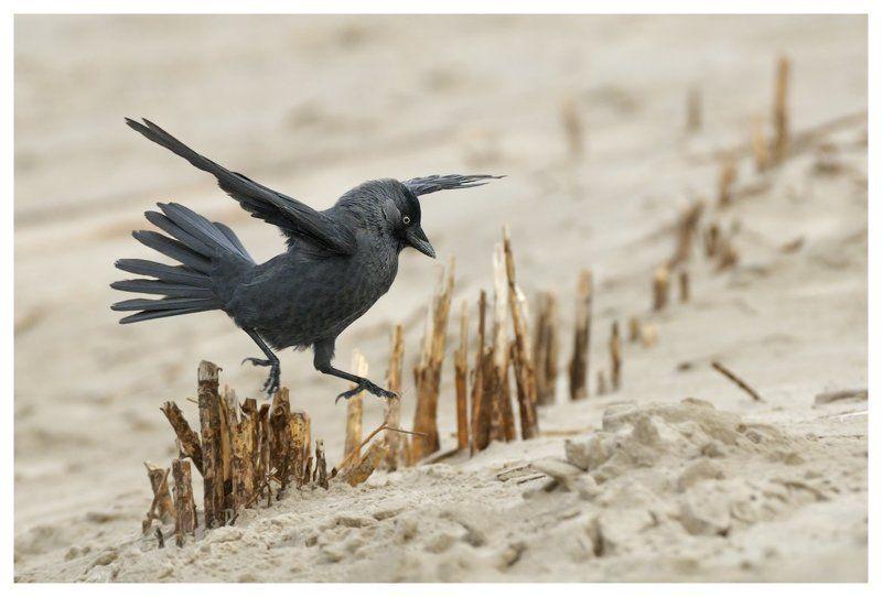 corvus monedula , молодая , галка, остров амеланд, нидерланды Бег с препятствиямиphoto preview