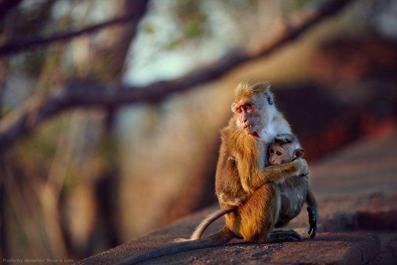 макак, обезьяна, шри-ланка, цейлон Обитатели Львиной скалыphoto preview