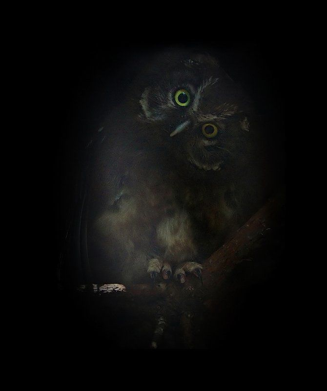 мохноногий, сыч Бормоттphoto preview