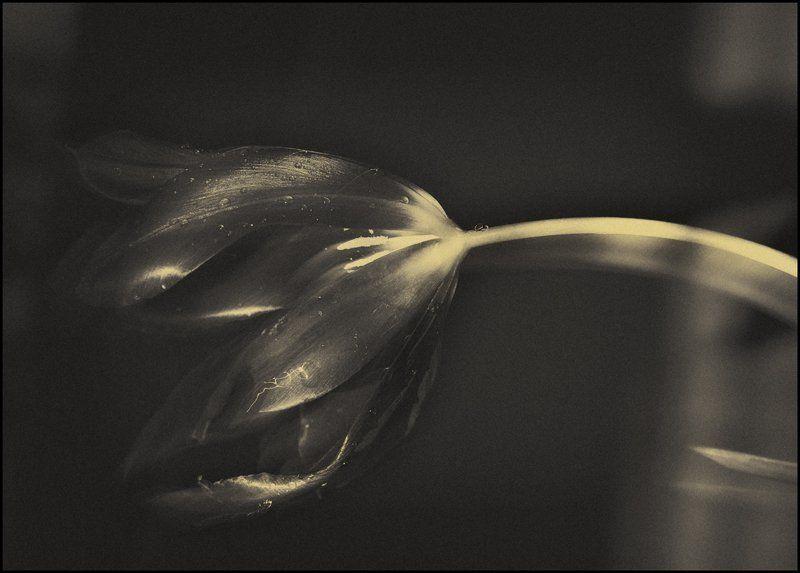 тюльпан Весенний шепотphoto preview