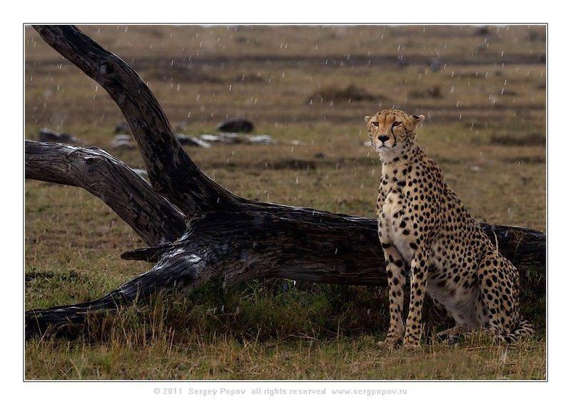 фотографии дикой природы, герпрд, масай мара, кения Под дождикомphoto preview