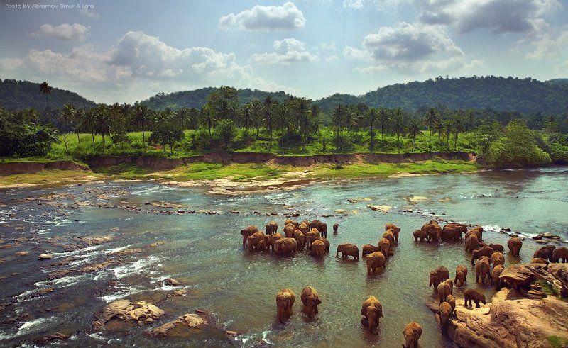река, тропики, слоны, шри-ланка, цейлон Купание слоновphoto preview