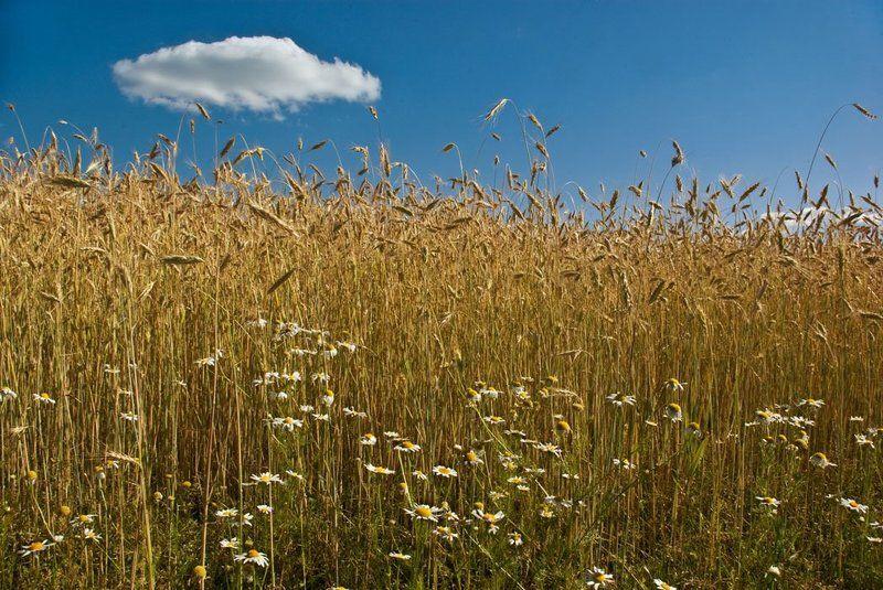 рожь, ромашки, небо, облако, зной Ржаной полденьphoto preview