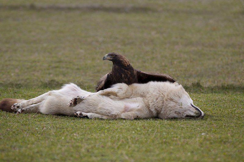 беркут, волк, охота Перехват серого разбойника.photo preview
