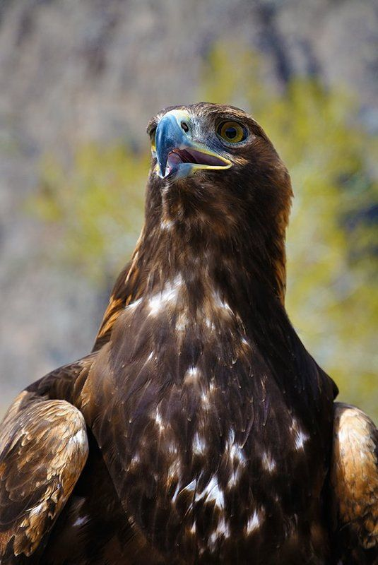 nikon, d7000, kazakhstan, nature, wildlife, eagle, казахстан, природа, фотоохота, беркут Золотой охотник Пестрых горphoto preview