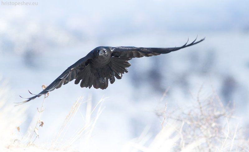 Raven / Воронphoto preview