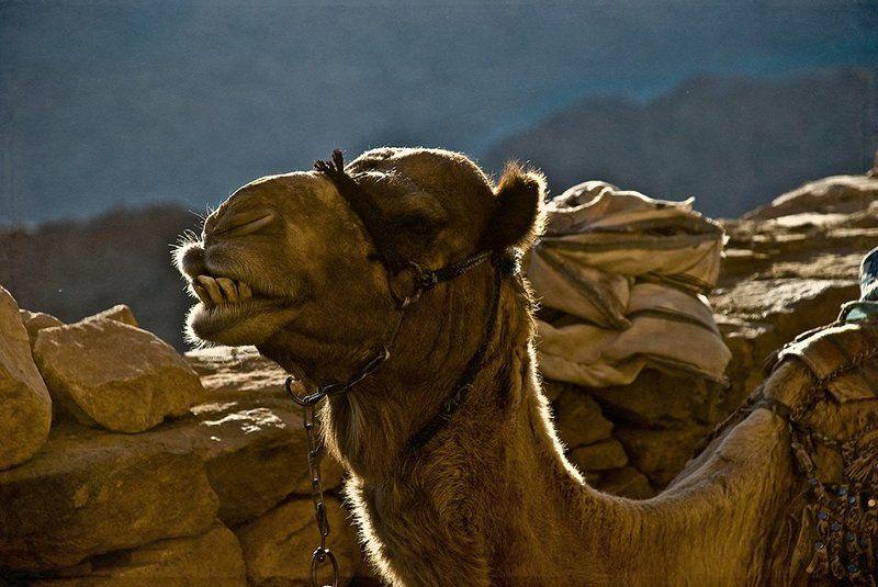 Верблюд, Египет, Животные, Синай Горный жительphoto preview